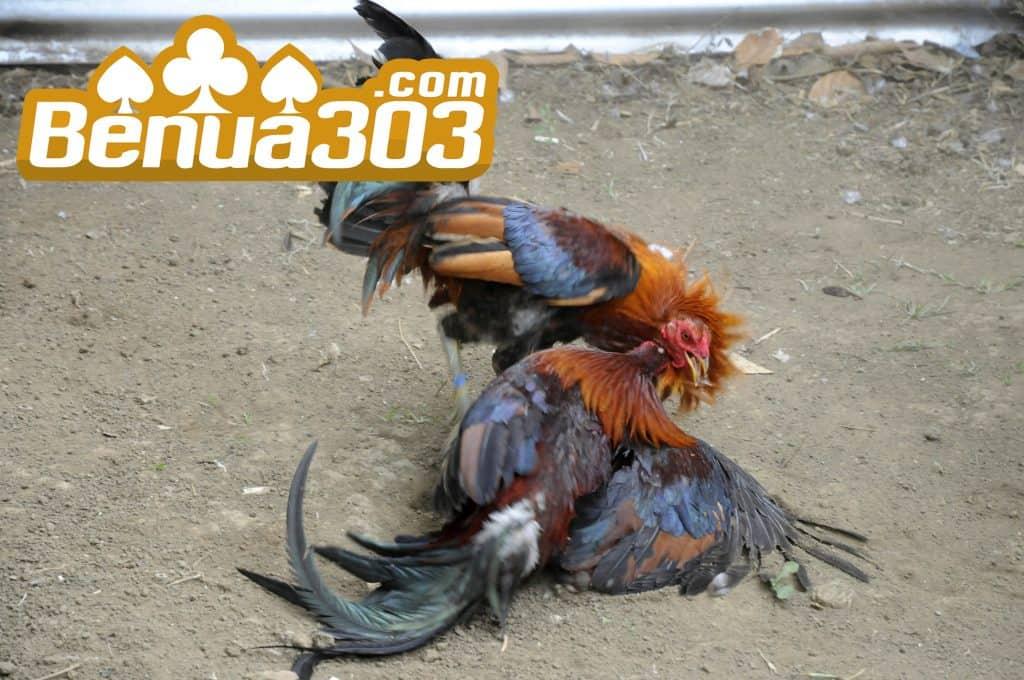 Ilustrasi Sabung Ayam Uang Asli 2020 Benua303
