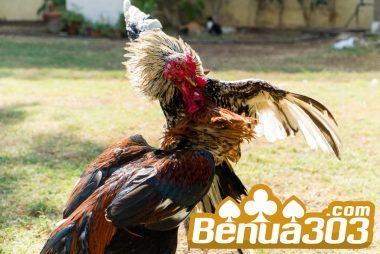 Cara Mudah Menang Banyak Sabung Ayam