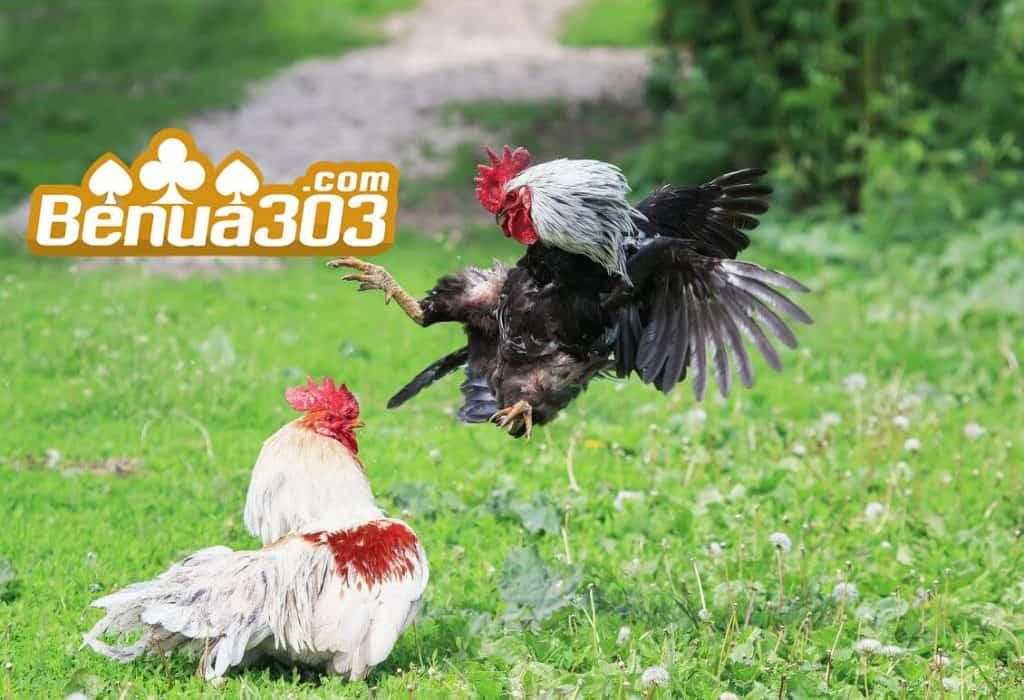 Adu Judi Sabung Ayam Uang Asli