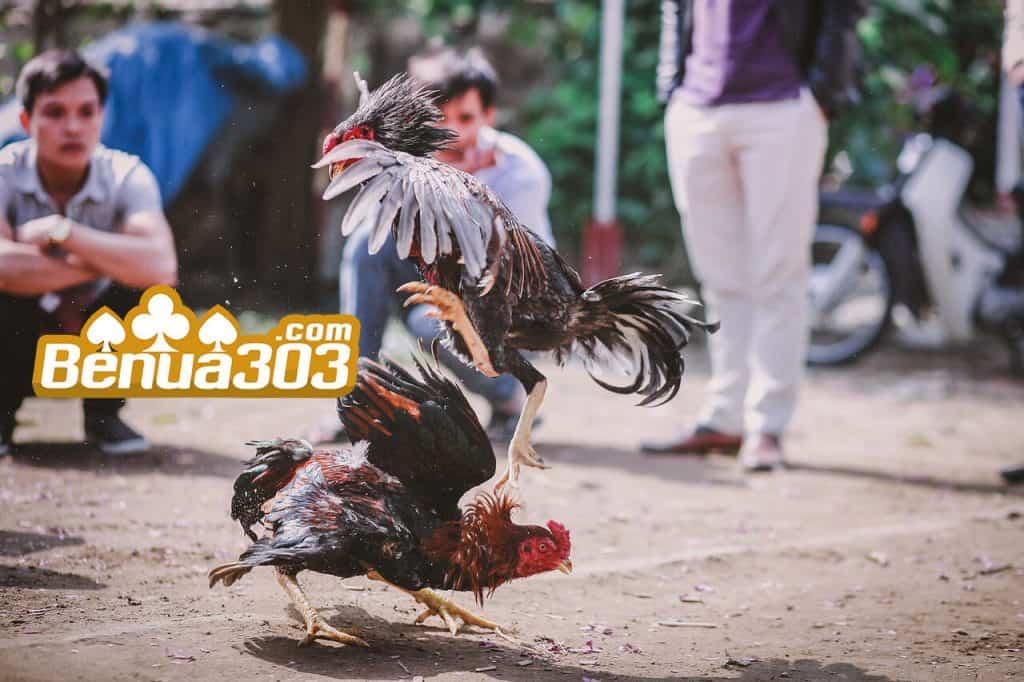 Bandar Sabung Ayam S1288