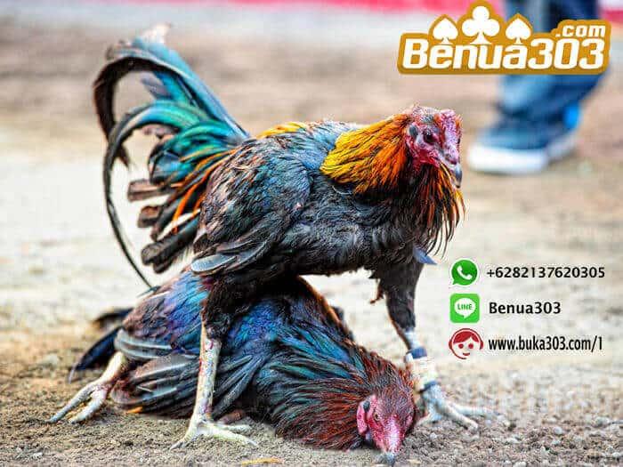 Cara Mendapatkan Bonus 100% Sabung Ayam (1)