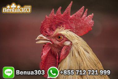 Cara Mendapatkan Bonus 100% Sabung Ayam