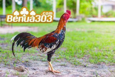 Judi Ayam Online Taruhan Terbesar DiIndonesia