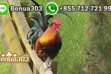 Judi Online Sabung Ayam Bonus Terbesar