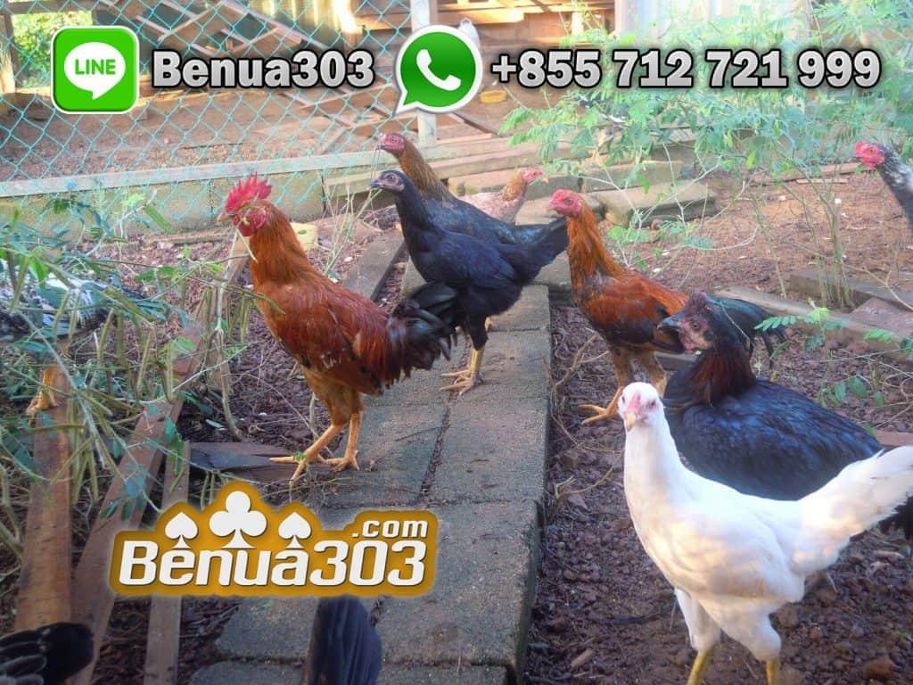 Keunggulan Jenis Ayam Peruvian S1288