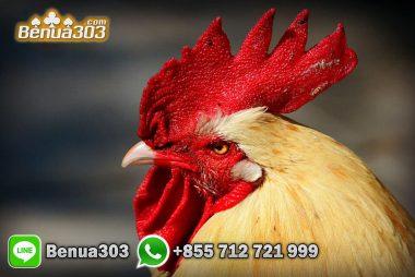 Omset Meningkat Dengan Judi Ayam