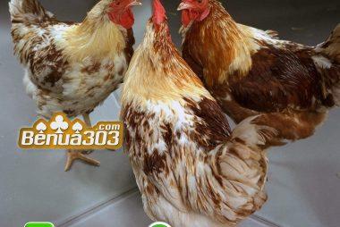 Taruhan Sabung Ayam Resmi 2019