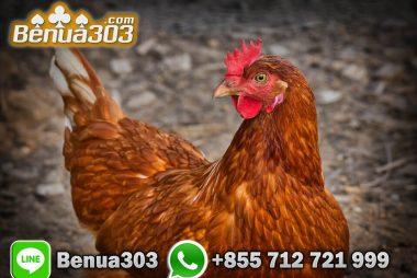 Tutorial Mendaftar Sabung Ayam