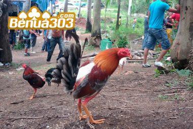 Tutorial Penarikan Dana Sabung Ayam