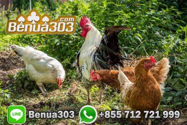 Bermain Sabung Ayam Bersama Teman
