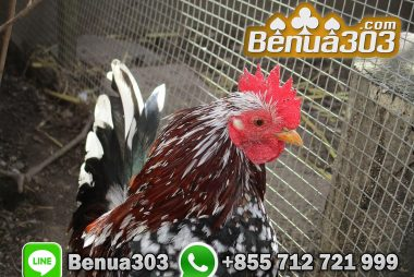 Download Aplikasi Sabung Ayam S128
