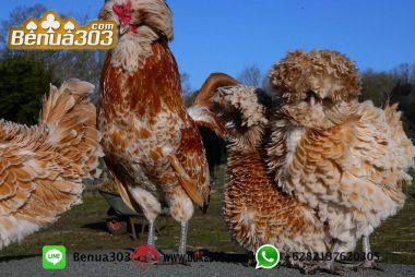 Aplikasi Bermain Sabung Ayam