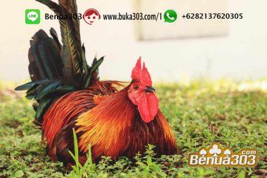 Ayam Laga Online Terbaik Indonesia