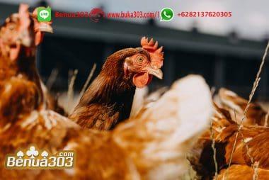 Bonus Sabung Ayam S128 Terbesar