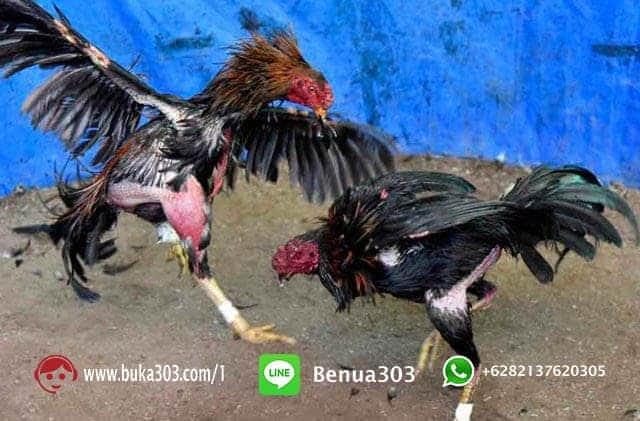 Bonus Sabung Ayam S1288 Online Indonesia