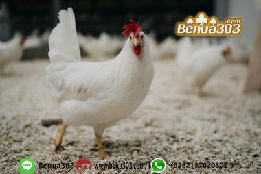 Cara Login Akun Sabung Ayam