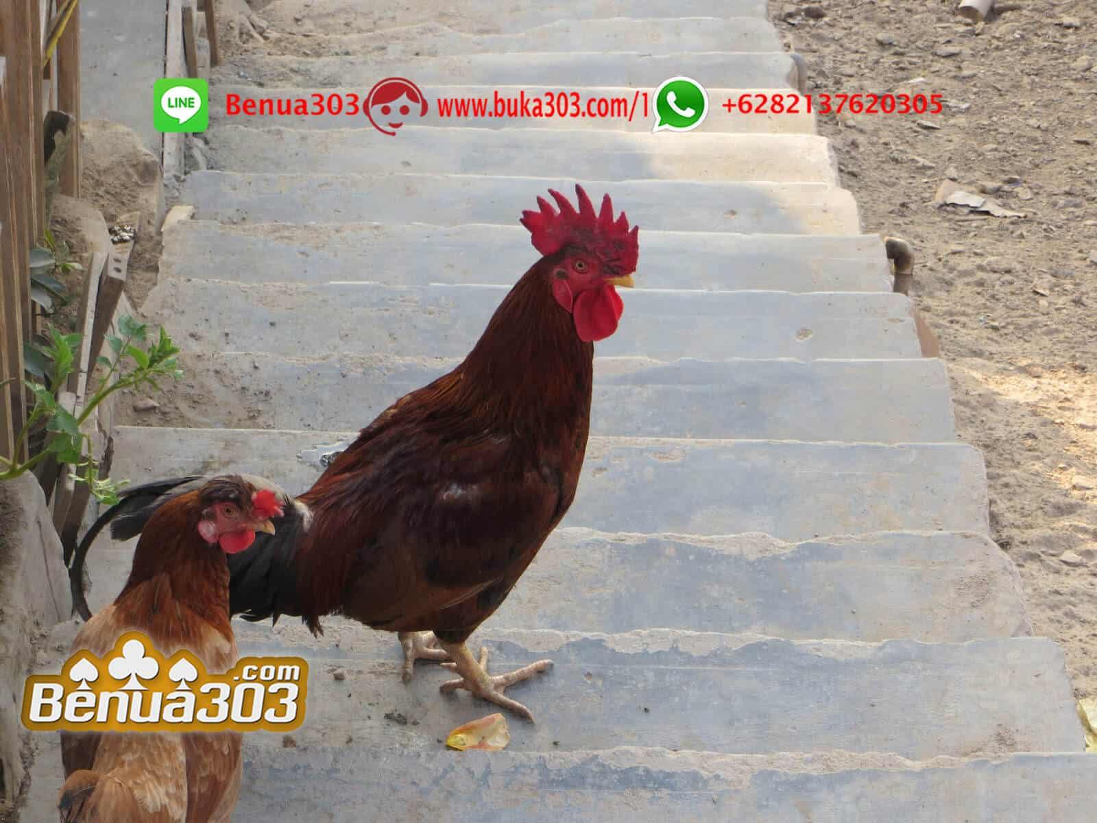 Cara Menang Judi Sabung Ayam S128 Online