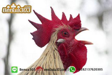 Daftar Dan Login Sabung Ayam