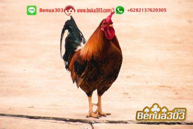 Dapat Untung Dari Bonus Sabung Ayam