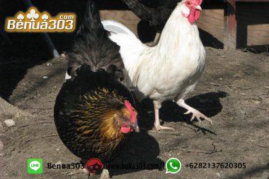 Game Judi Ayam Paling Modern S128