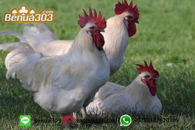Jenis Ayam Paling Kuat