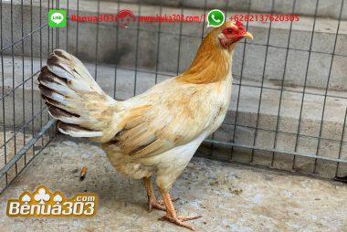 Kesempatan Menang Adu Ayam