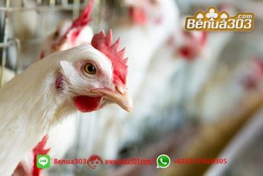 Memilih Ayam Unggulan S128