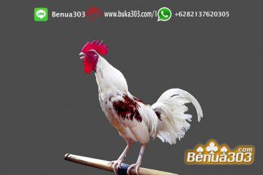 Menikmati Judi Ayam Indonesia