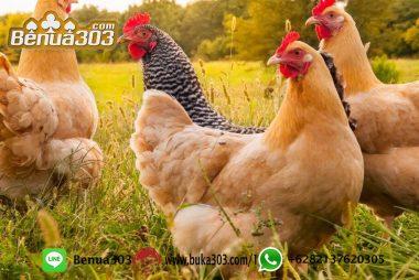 Menjadi Pro Sabung Ayam