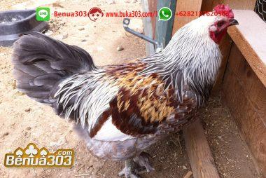 Pemasangan Bet Pada Game Sabung Ayam