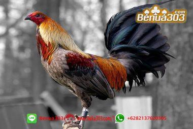 Pemasangan Taruhan Sabung Ayam