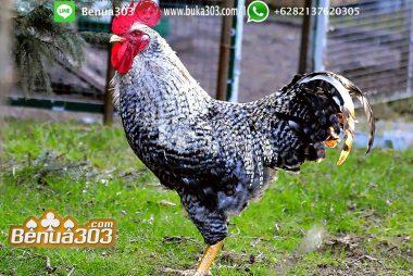 Perjudian Adu Ayam Indonesia