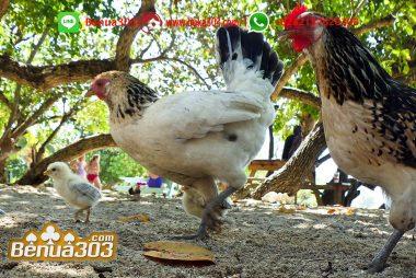 Pertarungan Ayam Paling Seru
