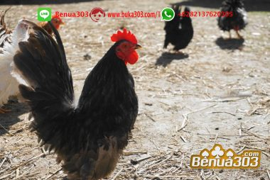 Situs Ternama Permainan Ayam Online