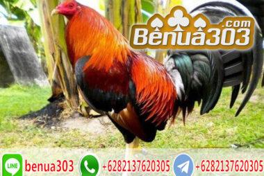 Judi Online Sabung Ayam Peru