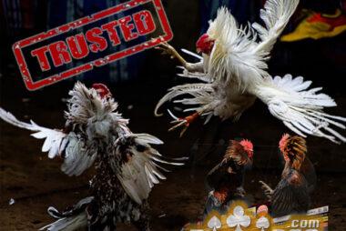 Agen Judi Sabung Ayam Bangkok Online
