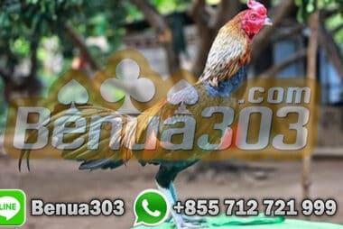 Cara Budidaya Ayam Aduan Birma