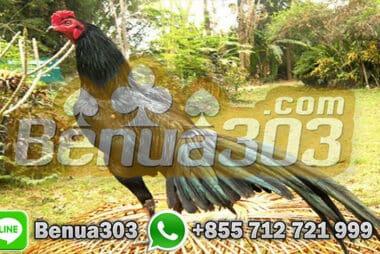 Keunggulan Ayam Bangkok